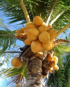 Kokosboom