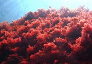 rood zeewier