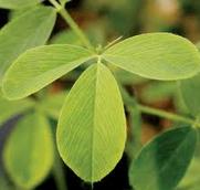 alfalfa blad